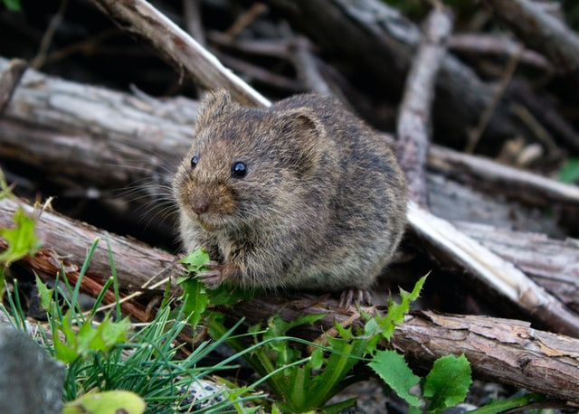 Are mouse droppings dangerous?